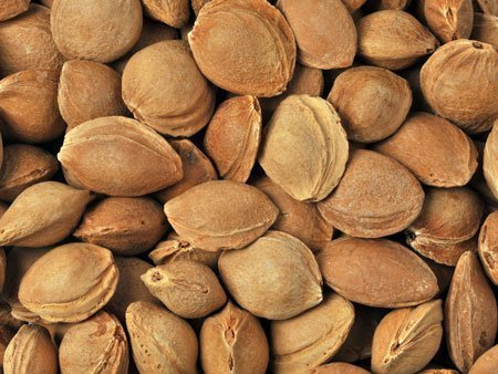 Bitter Apricot Kernels Inshell Supplier Producer BATA FOOD Turkey