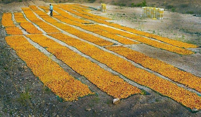 Dried Apricots Crop 2020 drying in Malatya Turkey