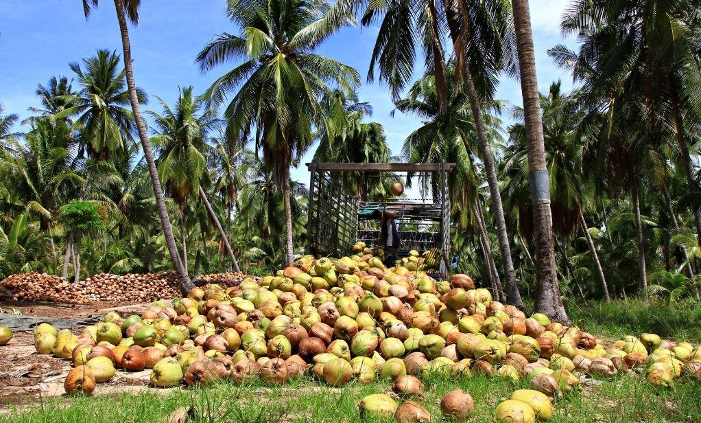 Organic Coconut Virgin Oil, Coconut Flour, Desiccated Coconut supplier market report Bata Food BV